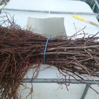 Vine Rootlings For Sale