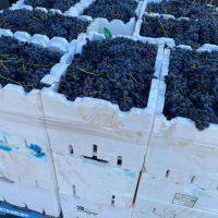 Expression of Interest - Shiraz Grapes